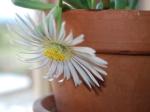 flowering baby toes cactus