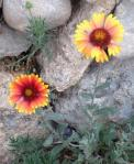 blanket flowers against rocks