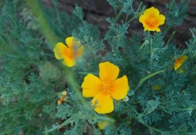 calif_poppies