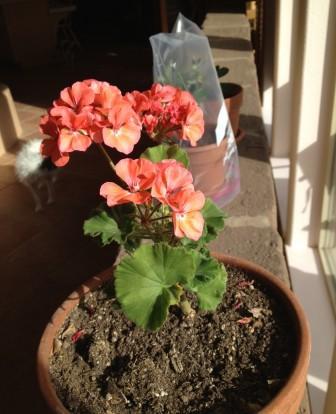 geranium_web