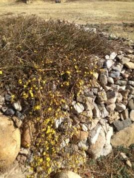 spanish-broom-in-rock-garden