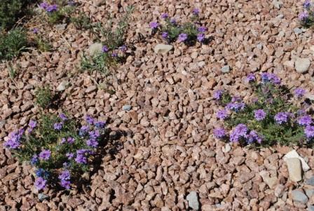 verbena-weed-new-mexico-xeric-rock-garden