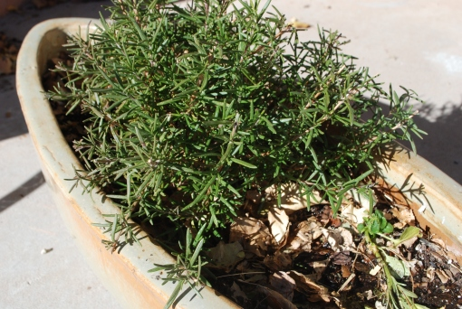 rosemary-in-container