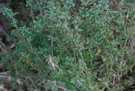 thyme--herb-low-water