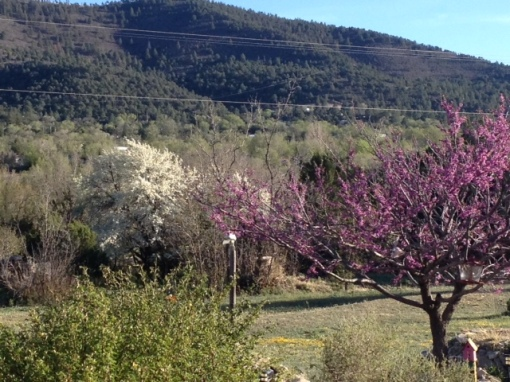 Apple tree and red bud in full bloom