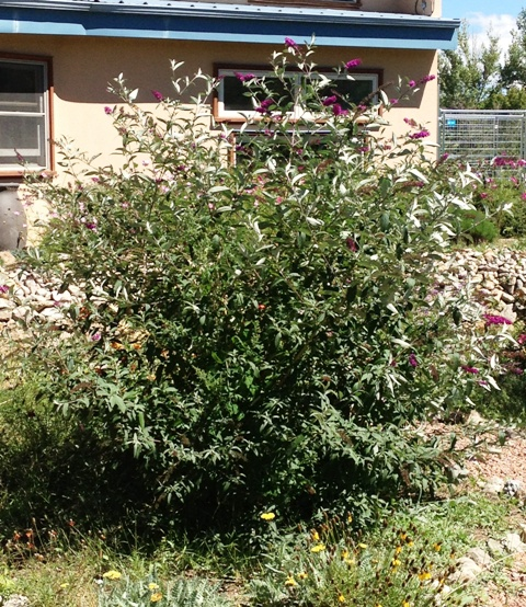 Butterfly bush after hard pruning