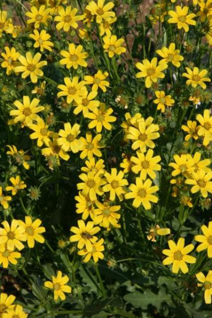 Engelmann's daisy, a native wildflower of the Southern Great Plains, is among the 2015  Plant Select recommendations. Image courtesy of Pat Hayward and Plant Select.