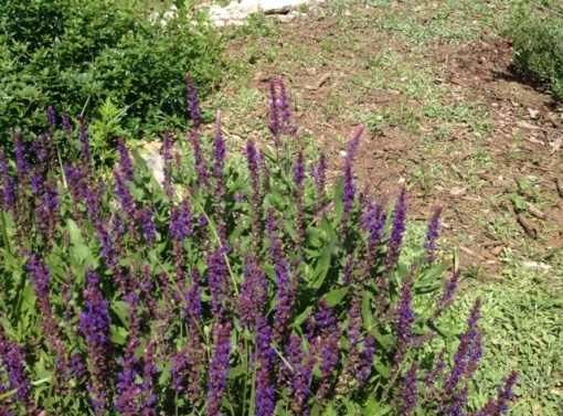purple salvia in xeric garden