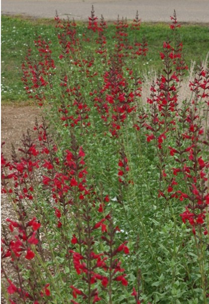 Plant Select's new WINDWALKER Royal red salvia is a moderate to xeric beauty.