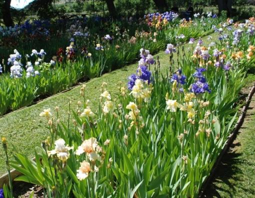 rows of iris
