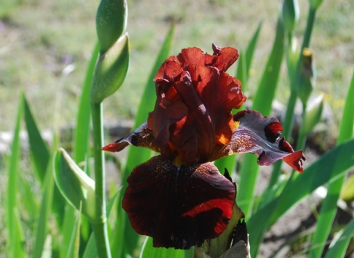 deep red iris bloom