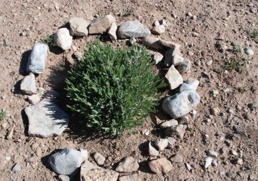 lavender in rocky soil