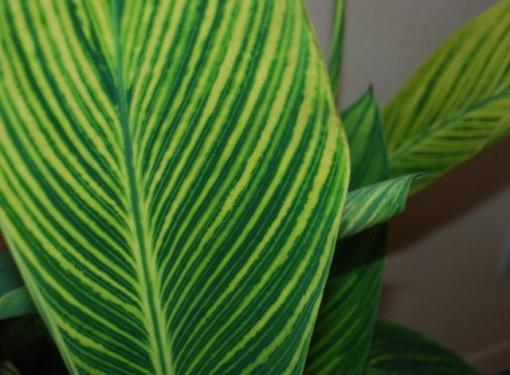 tropicanna canna