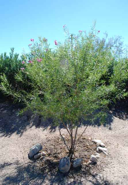 desert willow tree xeric