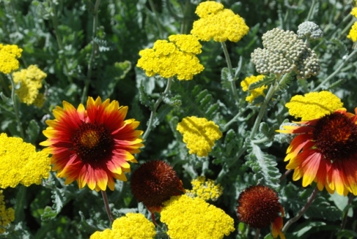 xeric annuals and perennials
