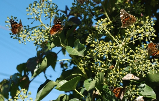 butterflies on ivy blooms