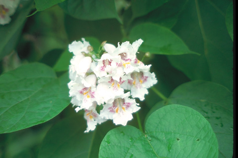 catalpa leaves and flowers