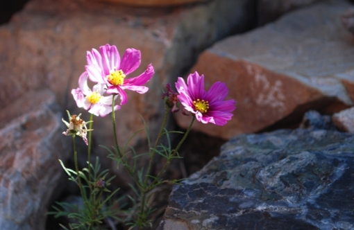 cosmos and rocks in garden
