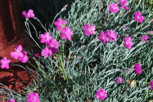 dianthus perennial