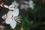 gaura bloom