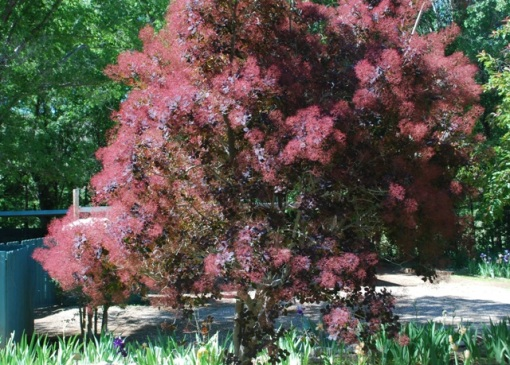 established smoke tree