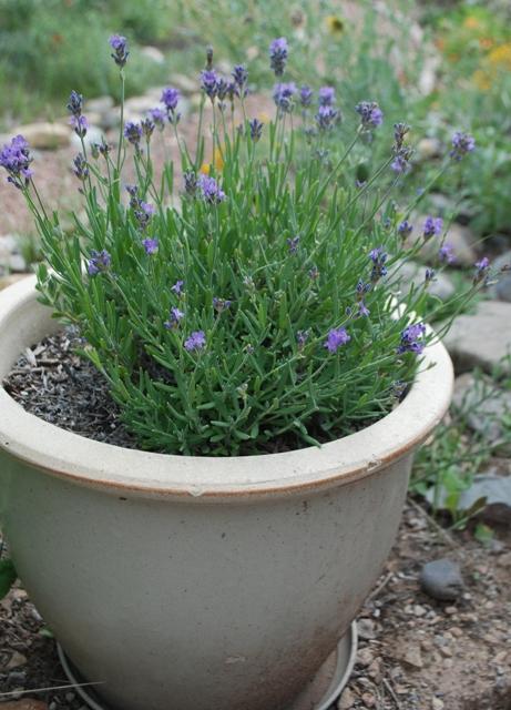 buena vista lavender