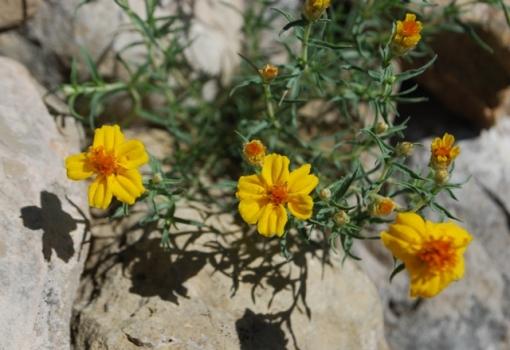 zinnia grandiflora shadow