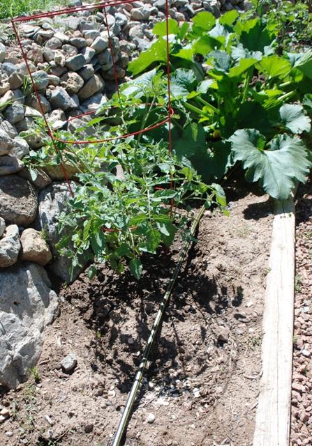 garden Drip tape in vegetable bed