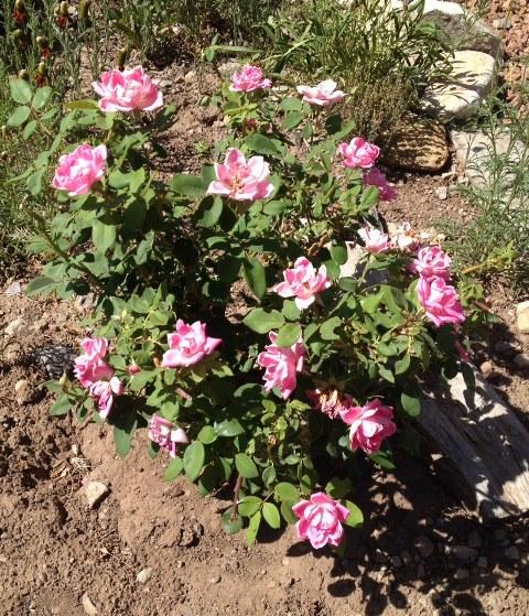 floribunda rose in low-water garden