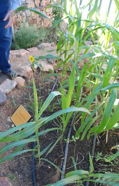 ancient Native American corn