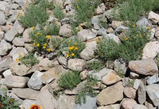desert zinnia in rocks
