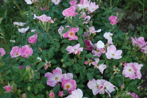 rosa blanda species rose