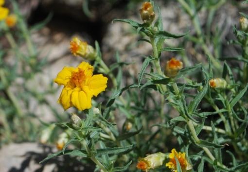 desert zinnia flower